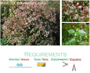 belia Grandiflora medium water usage shrub