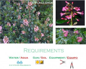 Escallonia medium water landscaping plants