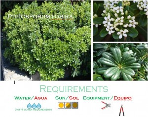 Pittosporum low water usage plants