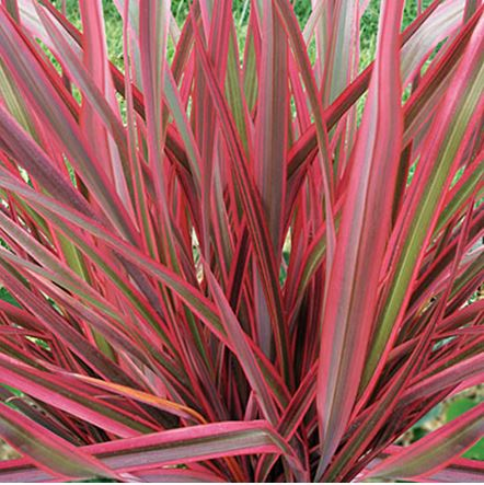 plant of the week 5 9 new zealand flax phormium gachina landscape management company. Black Bedroom Furniture Sets. Home Design Ideas
