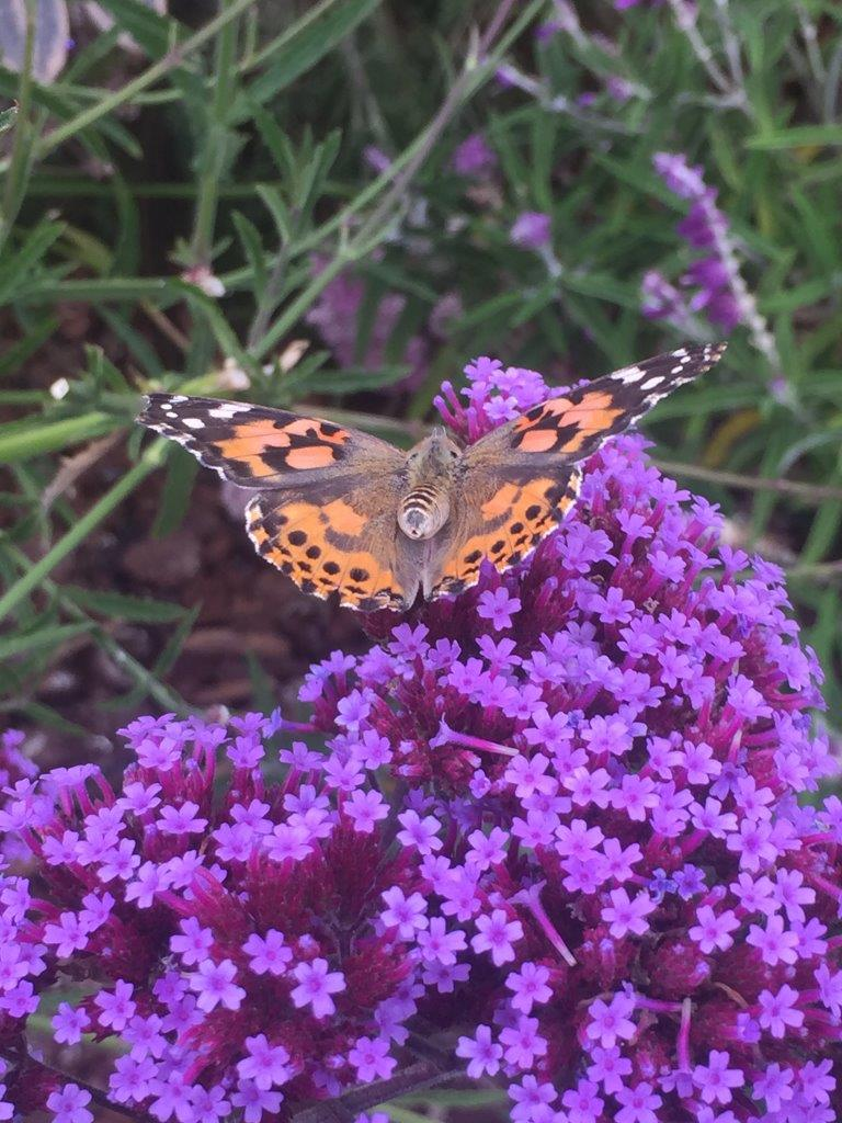 california native plants butterfly