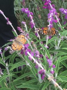 native california plants and butterflies