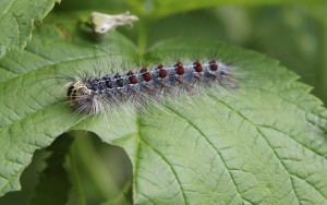 MATURE-GYPSY-MOTH-LARVAE