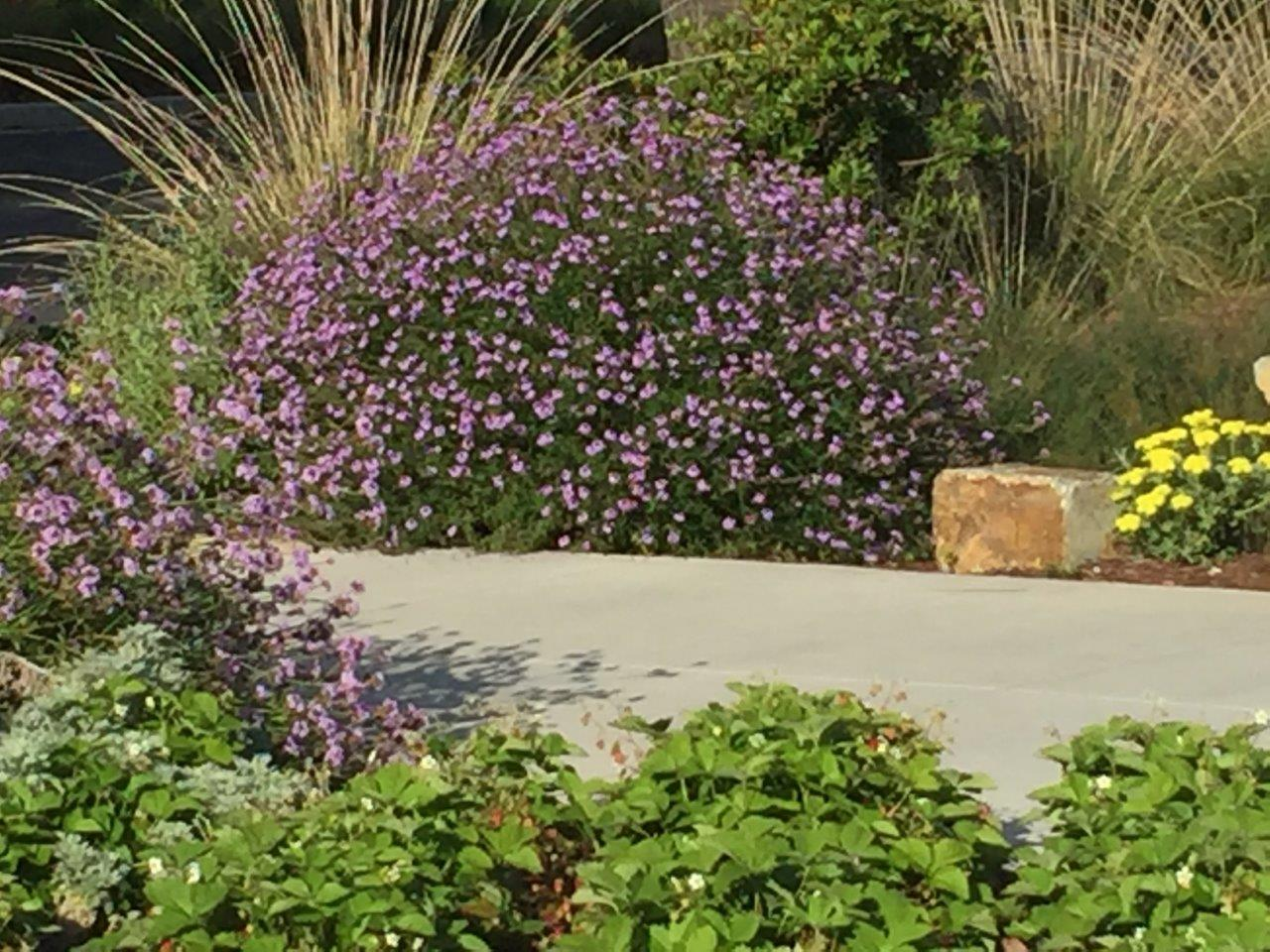 california native plants