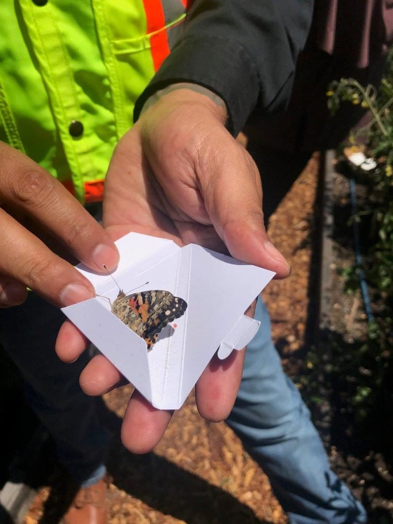 butterfly release example for Pollinator Week 2019