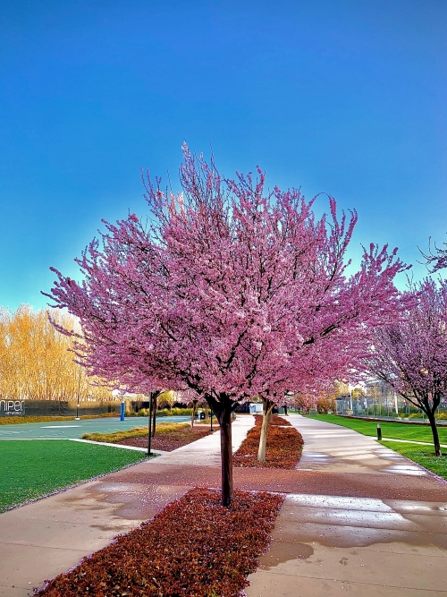 Cherry tree for fruit retardant